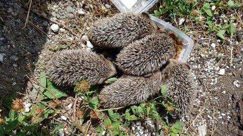 Fem små pinnsvinunger har flyttet inn i hagen til Bjørn Bakke i Spydeberg.