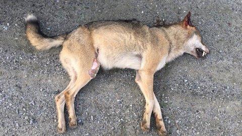 Det var denne ulven som i natt ble påkjørt like nord for Meieribyen.