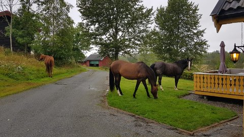 HEST SOM GJEST: De tre hestene beitet fredelig på plenen mens de ventet på eieren sin.