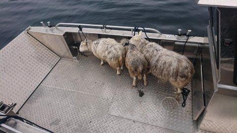 TIL SJØS: Sauene vart lasta ombord i båten på kaien i Romøyri.