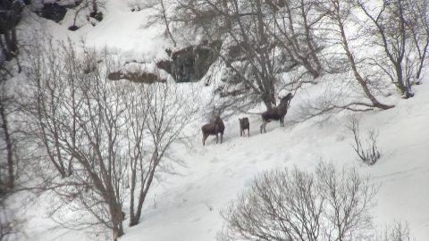 ARTIG SYN I FJELLSIDA: John Håland fotograferte desse elgane i fjellsida ovanfor Flåm i vinter.