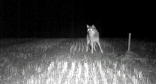 PÅ KAMERA: Det utelukkes ikke at det er samme ulv som ble fanget på et viltkamera i Lardal før jul. Foto: Viltkamera/Privat