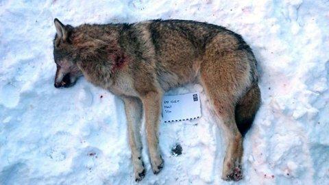 ETT SKUDD: En ulvetispe ble tirsdag ettermiddag skutt i Siljan. Ifølge Espen Marker i SNO ble ulven ble drept med ett skudd.