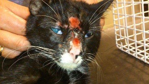 ÅPNE SÅR: På grunn av midd har kattene klødd seg selv til blods. Bildet er tatt etter at kattene er avlivet.
