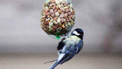 GAMMEL KJENNING: Kjøttmeis har i alle år toppet listen over de mest vanlige fuglene i hagefugltellingen. Foto: Håkon Mosvold Larsen, NTB scanpix/ANB