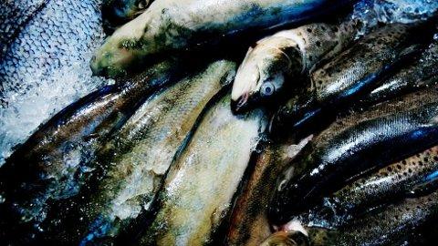 Norsk fisk er omgitt av både tungmetaller og miljøgifter, stikk i strid med det gamle munnhellet «frisk som en fisk». Foto: Therese Alice Sanne, Dagsavisen/ANB