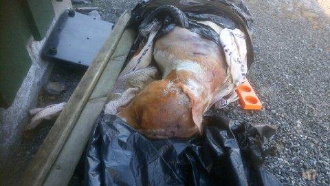 DUMPET: Denne døde hunden, med store skader etter kamp eller mishandling, ble dumpet i en plastsekk i området ved Eik gravlund i Bamble. Politiet har opprettet undersøkelsessak for å finne årsaken til at hunden er død.