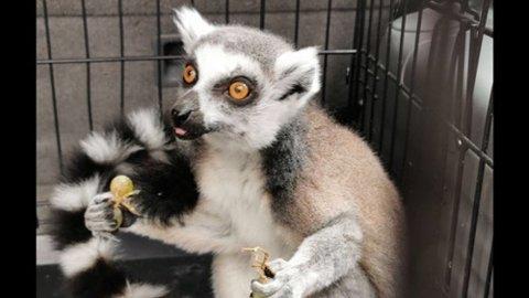 Lichi er tilbake i Den lille dyrehage. Dermed er alle lemurene på plass. Her er hun på plass i buret etter at hun ble funnet langs veien i dag. Foto: Terje Jensen
