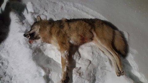 SKUTT: Dette er ulven som ble skutt søndag. Foto: Odd Arne Ottosen