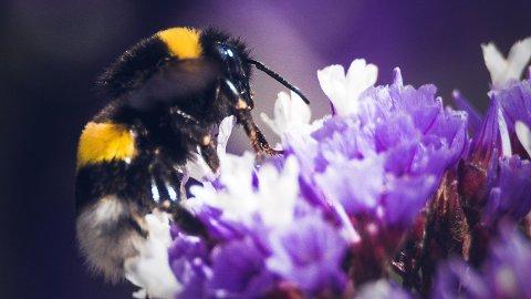 Er humlene i 2020 større enn normalt? Vi har sjekket med insektsforskeren.Foto: Luis Graterol/Unsplash