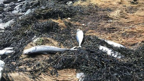 Dette bildet av død hestmakrell ble tatt i Eikefjorden i Kinn kommune tidligere i år.