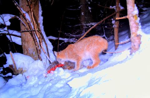 LEVER FARLIG: Gaupejakta 2015 er i gang. 35 dyr lever farlig i Region 2 de kommende to månedene.