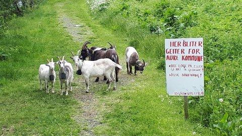 Disse geitene skal ta seg av gresset i deler av Aure i sommer.
