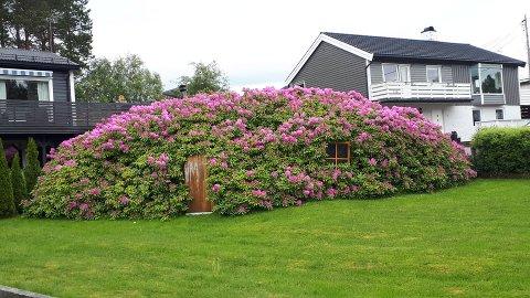 Den 50 år gamle rododendronbusken i Omsundveien er blitt til et «hobbithus»