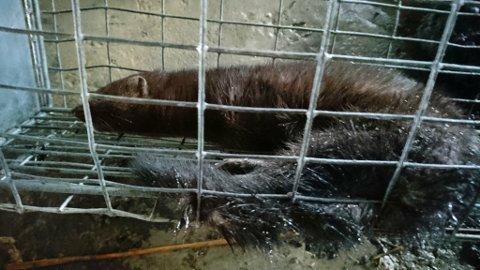FELLE: Her er minken i fellen. Men det er ikke sikkert det er ulovelig, ettersom mink er en uønsket dyreart i Norge som kan jaktes hele året. Men man må  innhente tillatelse fra grunneier og ha humane feller.