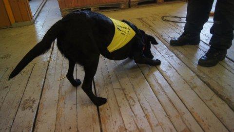 Ved å snuse seg frem til skjeggkre kan hunden markere og kartlegge spredningen av skadedyr i en bolig. Her har åtte år gamle Demi funnet skjeggdyr og gir en dekkmarkering.
