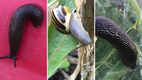 HØYSESONG: Sneglene har våknet til liv igjen etter en lang og kald vinter. Disse sneglene fant Marie i sin hage denne helgen.