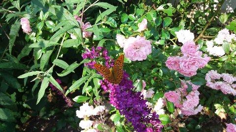 Keiserkåpe suger nektar på sommerfuglbusk.