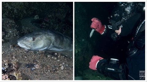 STOR TORSK: Her ligger 20-kilostorsken helt stille på berget. Sekunder etterpå er den avlivet av dykker John Ellev Slapgård.
