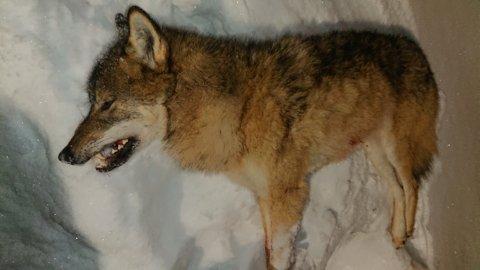 FELT PÅ LISENSJAKT: Denne ulven, som har trafikkert i den sørlige delen av Valdres, ble søndag skutt.