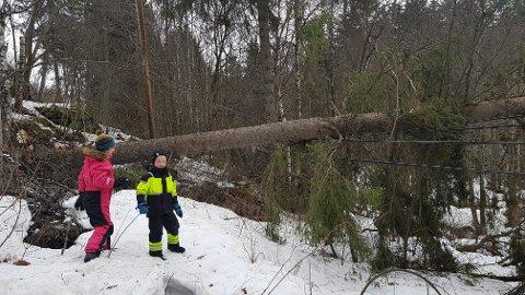 ÅRSAKEN: Dette grantreet forårsaket linjebrudd i Røn i dag. Svein Erik Ski stod utenfor huset og så at vinden tok treet tidligere i dag. Nå er treet kappet.