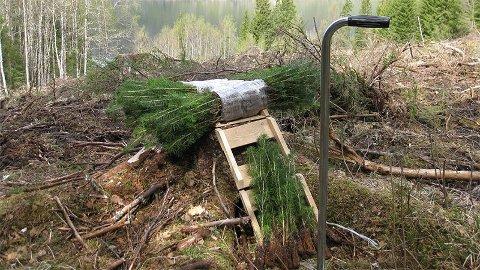 Skogplanting: – Et ekstra plantetilskudd håper jeg vil hjelpe skognæringen til å få gjennomført skogplantingen i denne krevende situasjonen, sier landbruks- og matminister Olaug Bollestad.