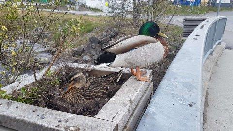 UREDDE:På brua over Ørfiskebekken i Nittedal sentrum har dette stokkandparet slått seg til med reir og egg.