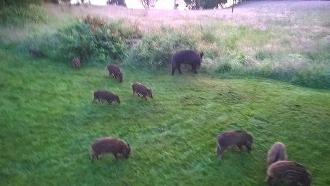 """MANGE: Villsvinene kan bli problematiske og mange dersom ledersugga skytes og flokken splittes. Da risikerer man mange nye griseflokker med """"kunnskapsløse"""" dyr inntil de har en ny sugge som kan lære dem opp."""