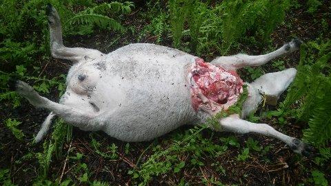 FLERE SAVNET: Flere av sauene i flokken er ennå savnet etter bjørneangrepet.