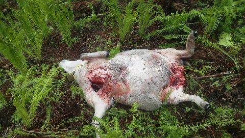 DREPT: En av de fem sauene etter angrepet av bjørnen i Bardu fredagskveld.