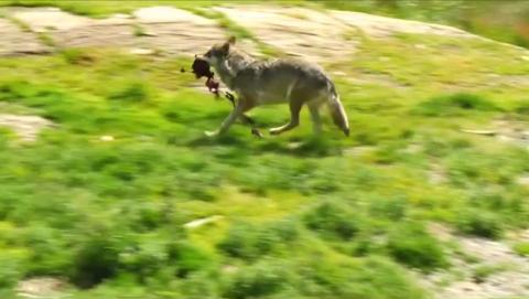 FRA VIDEOEN: Denne ulven, med et kjøttstykke i munnen, er med i videoen.