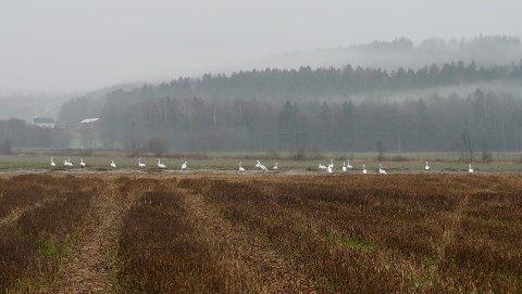 SJELDEN GJES(S)T: Beboeren kan aldri huske å ha sett slike fugler ved Dunihagen før.