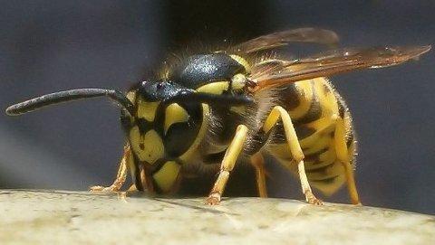 Veps holder bestanden av mygg og fluer nede. I tillegg fungerer de som pollinatorer.