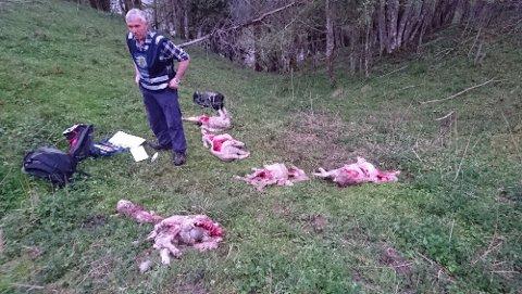 Makabert: Rovviltkontakt Jan Kåre Lie var sammen med to andre kolleger fra Statens naturoppsyn på stedet der 20 sauer ble angrepet nord i Askim, 18. mai. Her er noen av de drepte dyrene. Foto: Hans Runar Kojedal, Spydeberg kommune.
