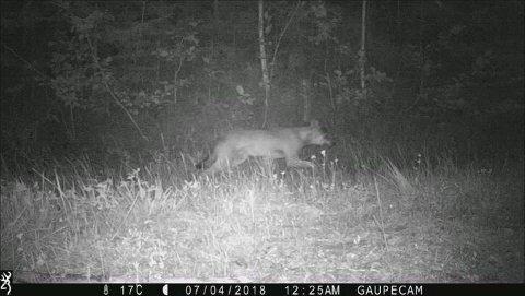 Ulv fanget på viltkamera i Aurdal tidligere i sommer.
