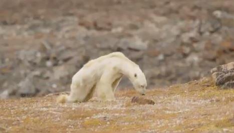 Bamse som angivelig skulle vært rammet av våre klimagassutslipp