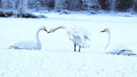 ISFAST: Svanene vil ikke forlate isen på Lesjaskogsvatnet i 20 kuldegrader.
