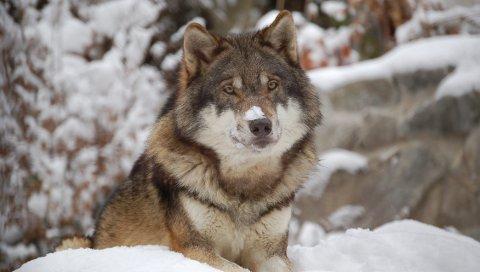 Ulv: Arne Nævra og Lars Haltbrekken ønsker å få tydelig fram at for landbruket som helhet, betyr vår nåværende ulvebestand svært lite.