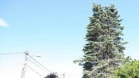 PLAGER NABO: Fra dette treet i Bødalen lager skjærene leven ifølge en beboer i området.