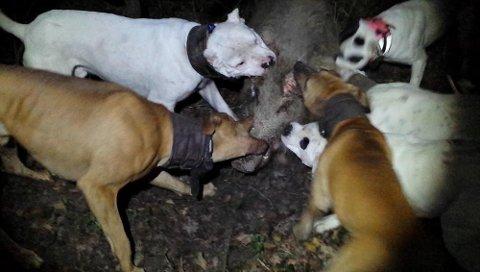 BITER SEG FAST: To av eierne tok med seg hundene på villsvinjakt i Franrike. Hele seansen ble filmet. Bildet viser hvordan hundene biter seg fast i dyret og ikke slipper. FOTO: Politiet.