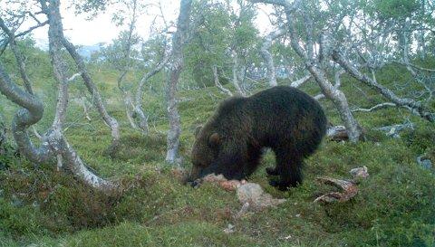 Grane: Dette arkivbildet fra 2009 viser en slagbjørn som spiser å åte på¬Båfjellet i Grane.
