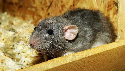 KOSTER MILLIONER: Rotter og mus påfører hus og hytter på Hadeland skader for flere millioner hvert år.