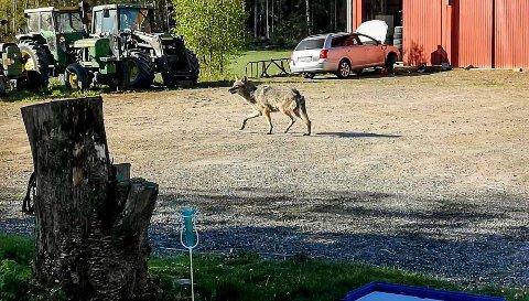 PÅ TUNET: Ulven gikk over gårdstunet til Anette Kvernhusengen.