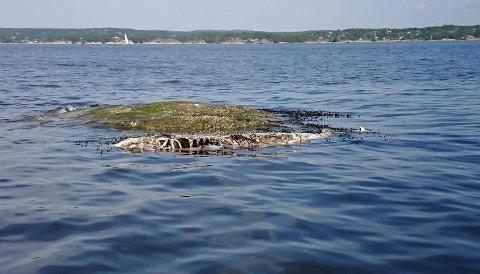 FLYTER OPP: Skjelettet etter grindhvalen som ble funnet død ved en strand i Løkkevika har dukket opp igjen.