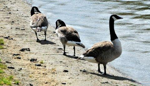 SMITTE: Det er påvist fugleinfluensa hos en kanadagås i Sarpsborg.