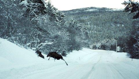 Elgen trekker på ettjulsvinteren. Her er elg i Synslia. Bildet er fra ifjor.