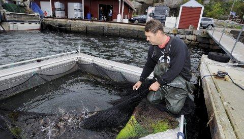 FORTVILET: Det er ikke mange leppefisk igjen i samlekummen til Geir Dokken på Verdens Ende etter villminkens herjinger. Denne gangen er verdier for rundt 10000 kroner gått tap.