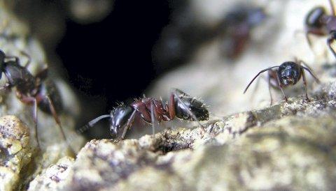 Uønsket inne: Hvert år bekjemper ulike skadedyrfirmaer i Norge flere tusen maurangrep. Foto: T. Birkemoe/Folkehelseinstituttet