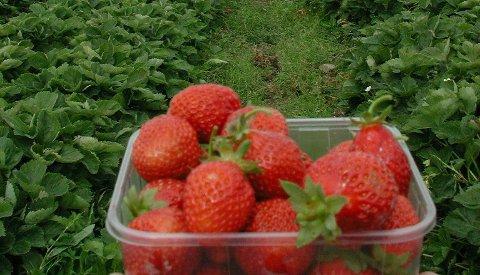 Deilig sommerkos: Ferske lokalproduserte jordbær er allerede å få kjøpt. Snart kommer bringebærene også. Foto: NTB