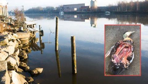 Flere titalls døde fugler fløt nedover Glomma i formiddag. Trolig er det noen som har skutt fuglene for så å dumpe skrotten i elva.